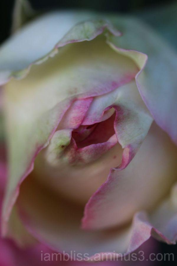 Forever rose