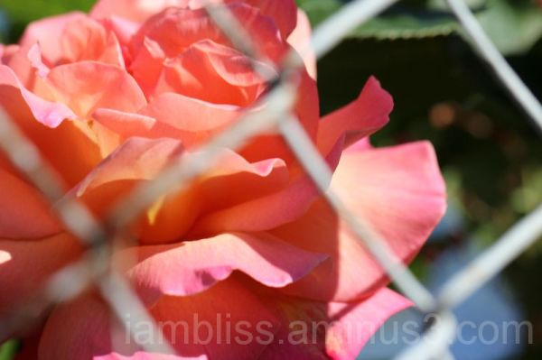A rose behind the fence