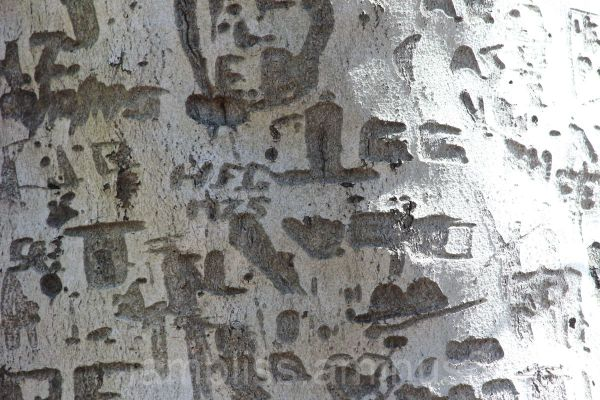 Carvings in a tree bark