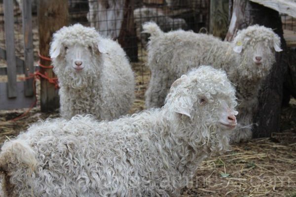 Smiling mohair goats