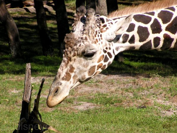 Jud, Animal Kingdom Lodge, Savannah, Giraffe