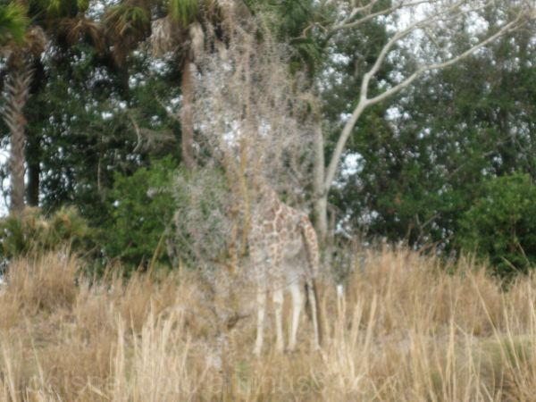 Disney, Animal Kingdom, Wild Africa Trek, Giraffe