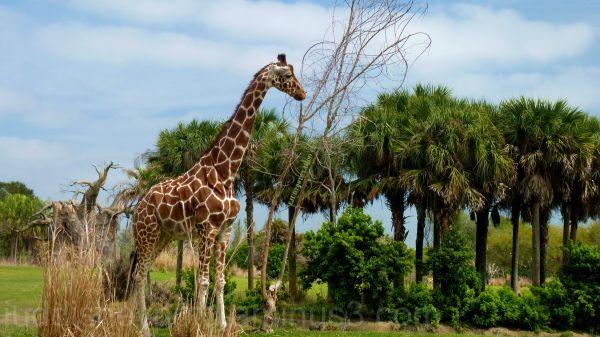 WDW, Disney, Jud, Animal Kingdom, Safari, Giraffe