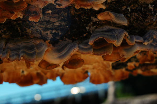 Fungus underneath log at Brentwood Bay