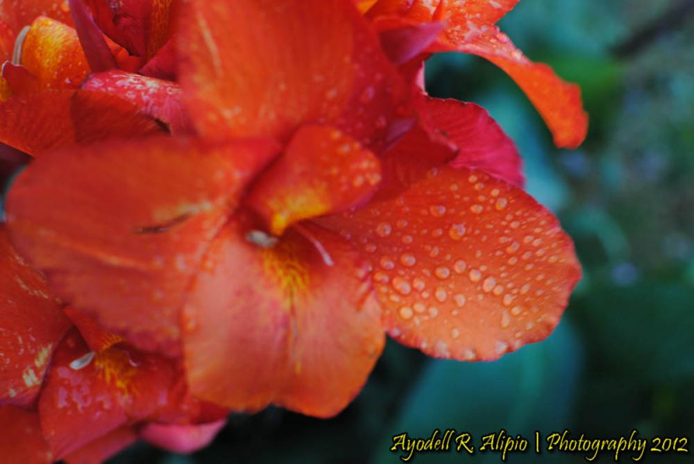 Flowers of Sagada 3