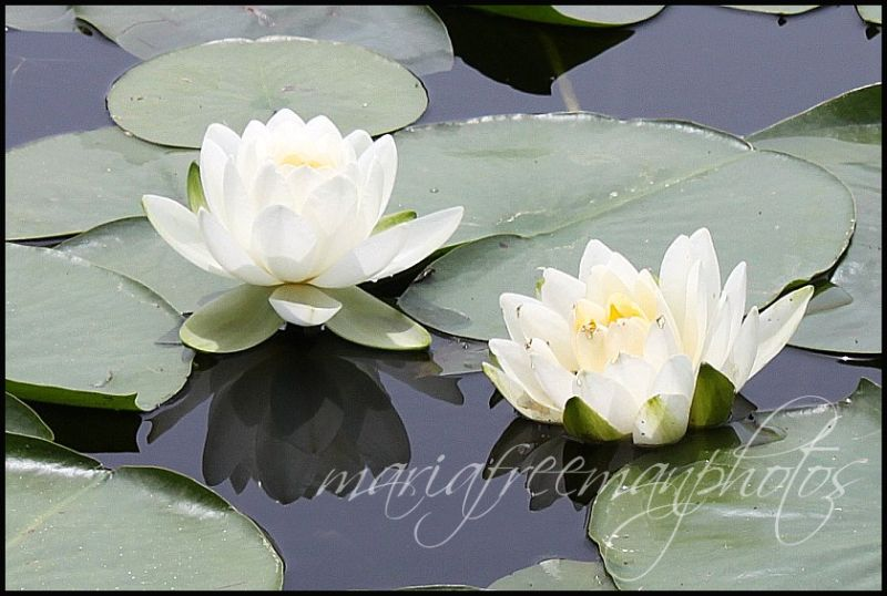 Water Lillies and Pads