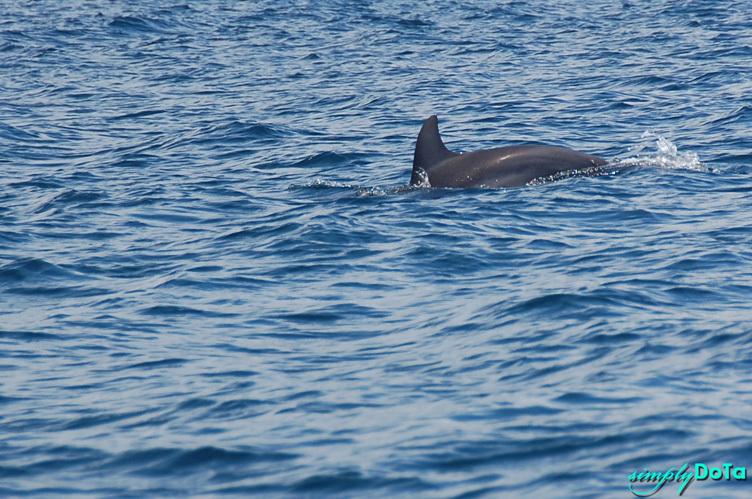A Glimpse of Dolphin in the Open Sea