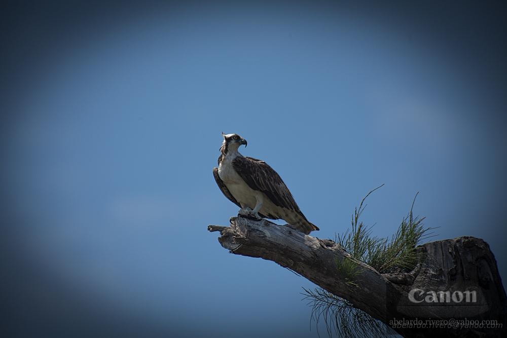 ossprey... halcon marino