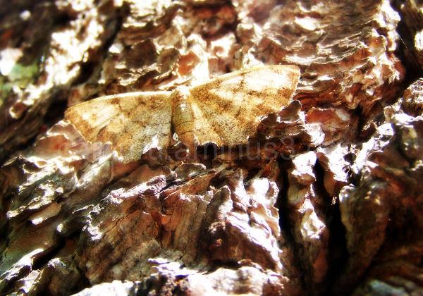 Wood Moth