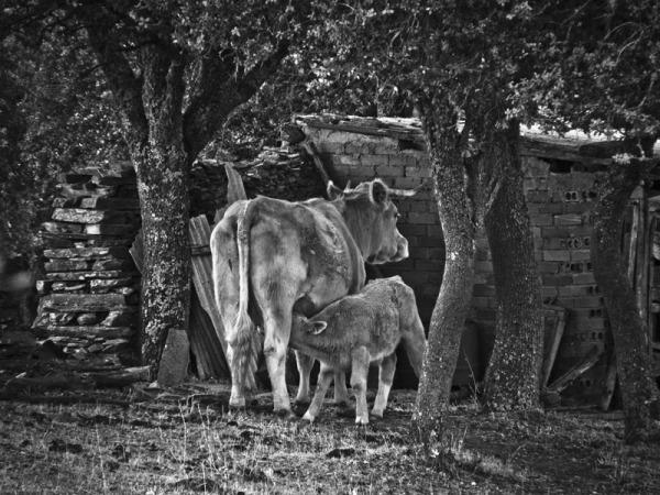 mama vaca, ( la hora de la cena)