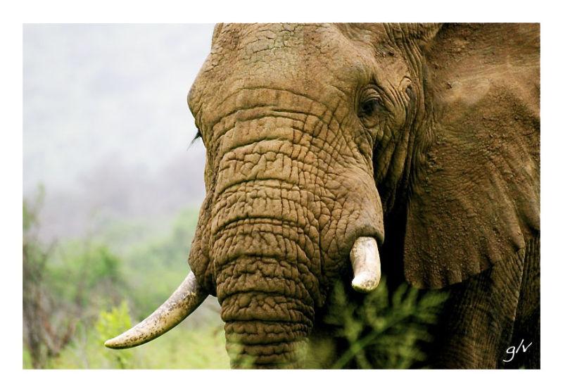 The Big Five (III) - E as Elephant