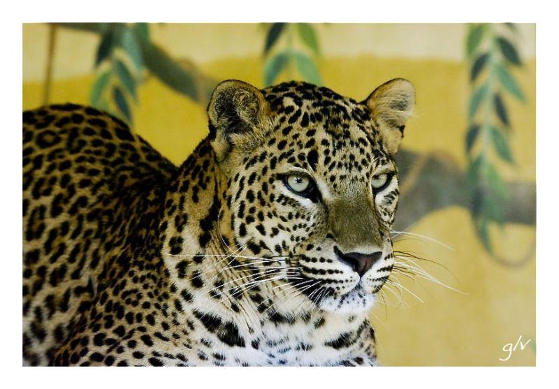 The Big Five (IV) - L as Leopard