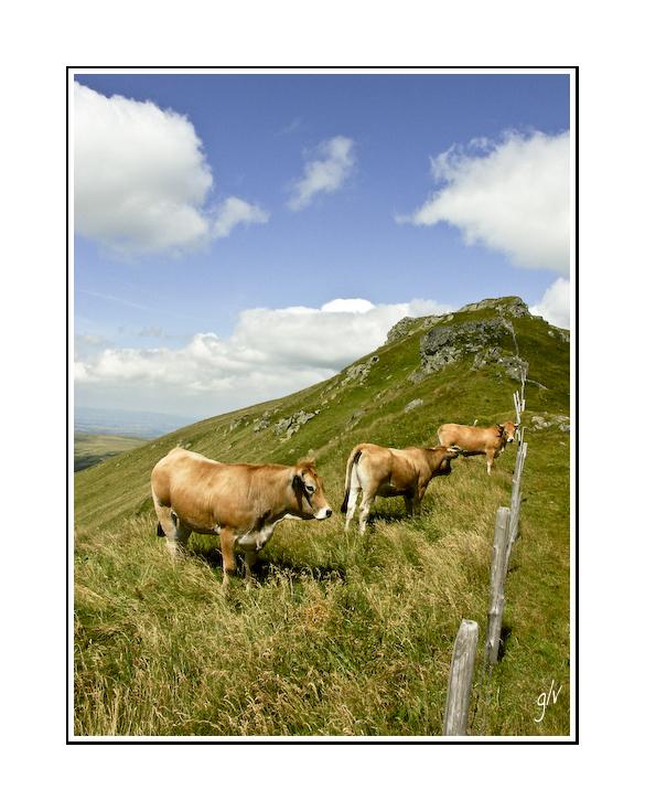interlude animalier - les vaches