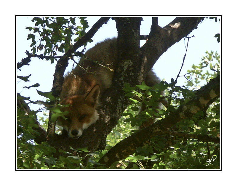 interlude animalier - le renard