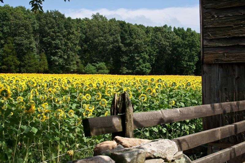 Sunflower field at Buttonwood Farms,Griswold, CT