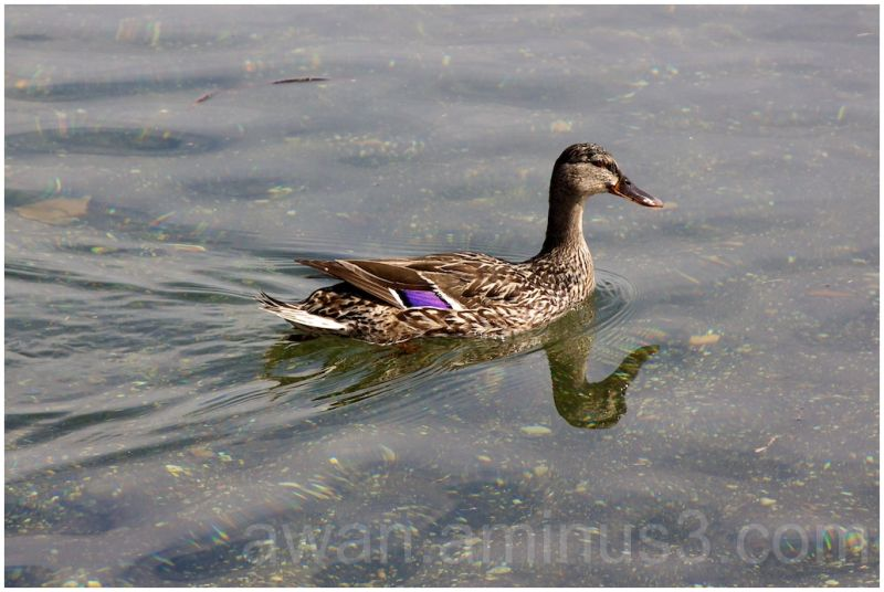 Lake and duck
