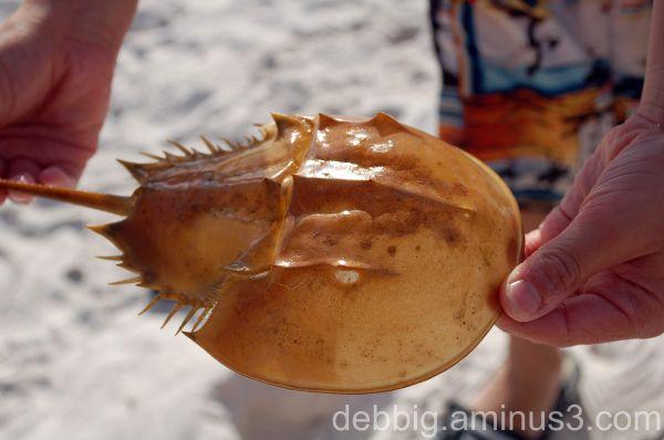 helmut crab