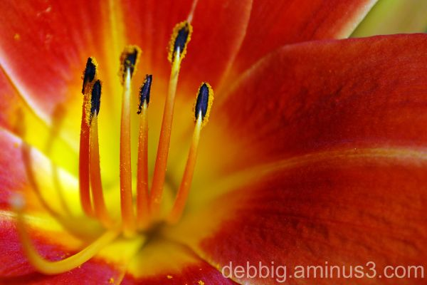 lily orange red
