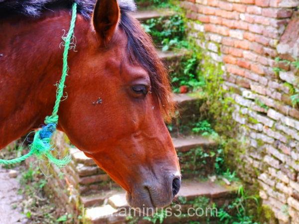 اسب و مگس