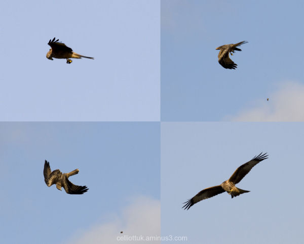 Red Tail kite image sequence