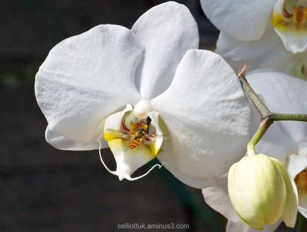 Orchid hoverfly
