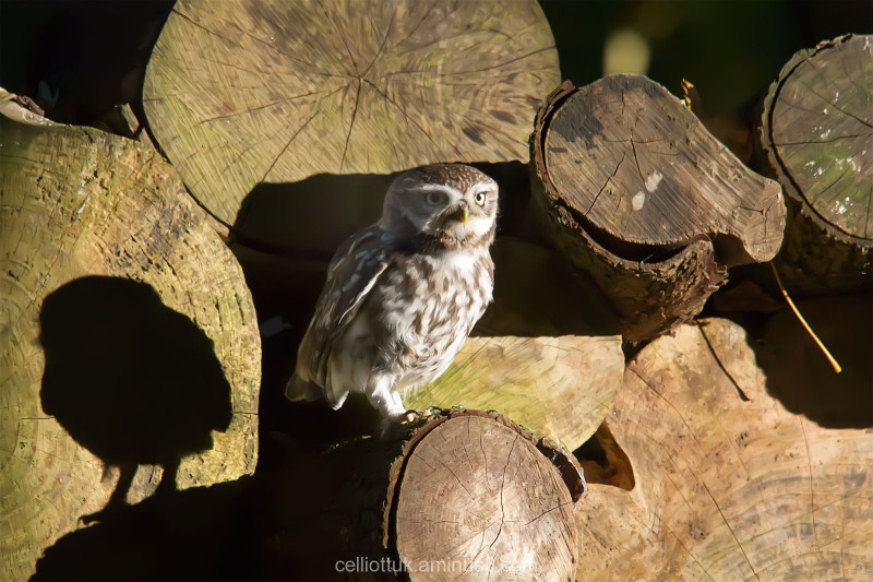 Little Owl-little shadow
