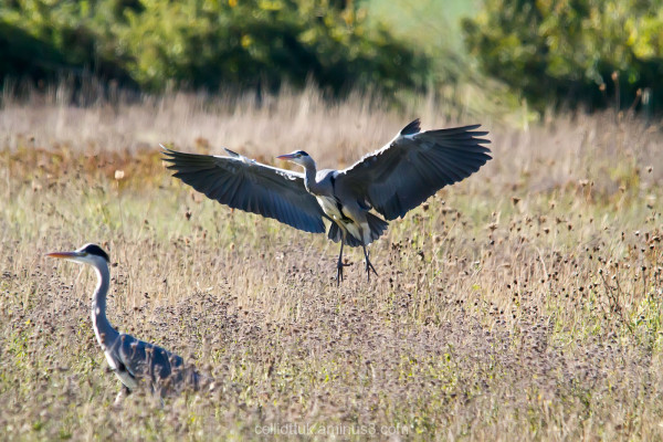 Incoming heron