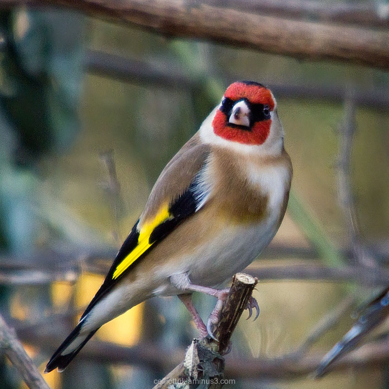 Goldfinch - 2