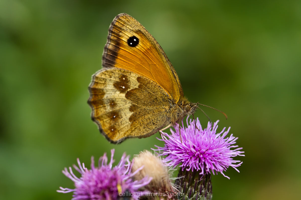 large brown butterfly