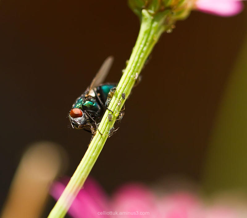 Fly greenbottle