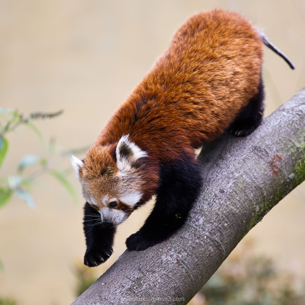 Red Panda Marwell