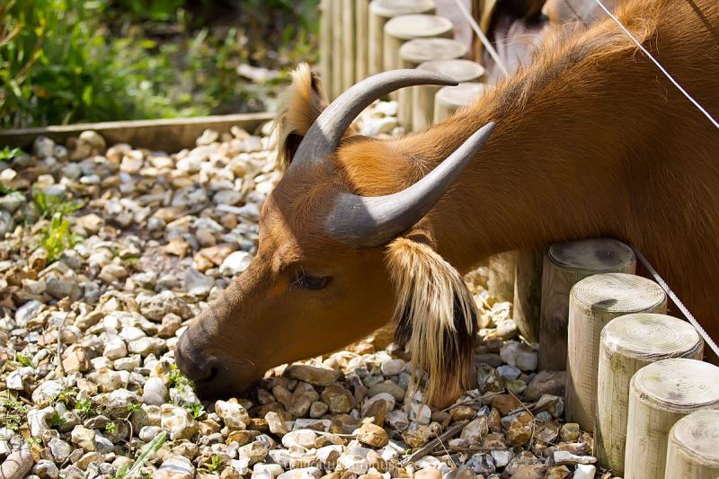 Cow Marwell zoo