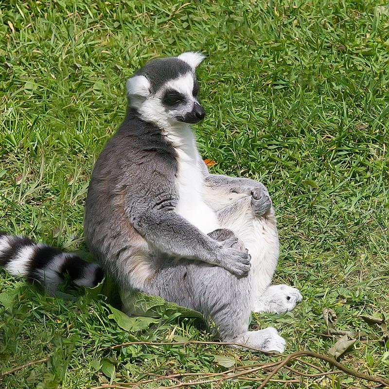Lemur Marwell Zoo