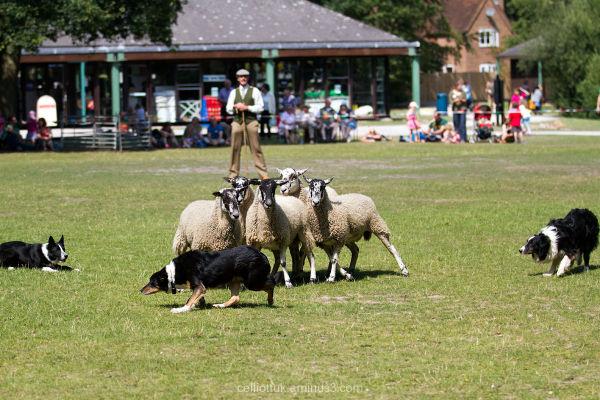 shepherd dog sheep sheepdog