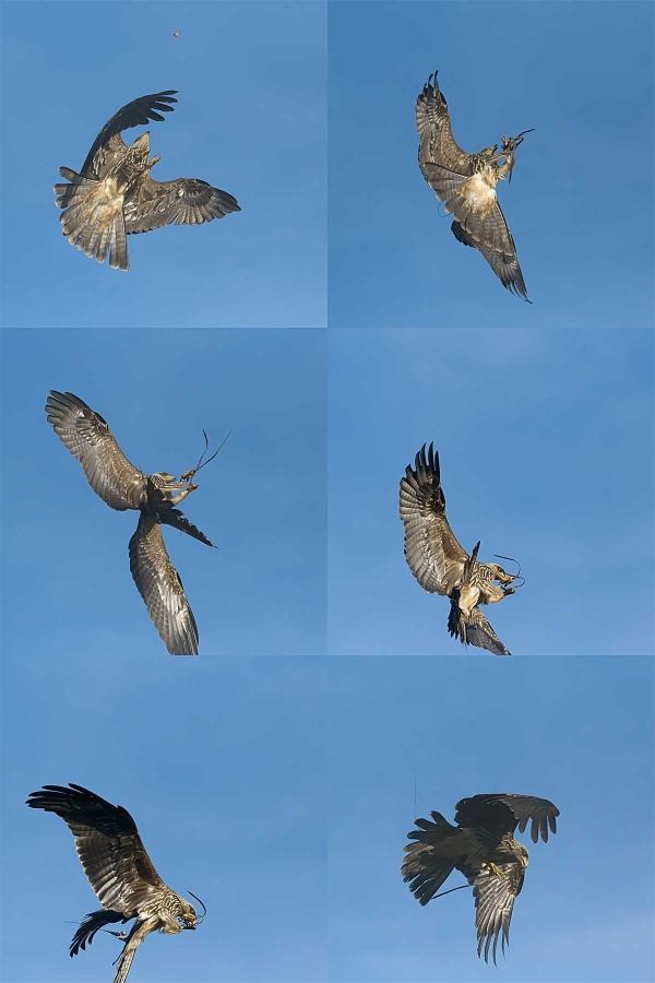 Kite behaviour