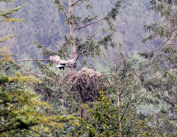 Sea Eagles on the nest