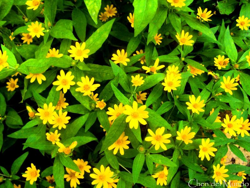 small yellow flowers @ sonya's garden