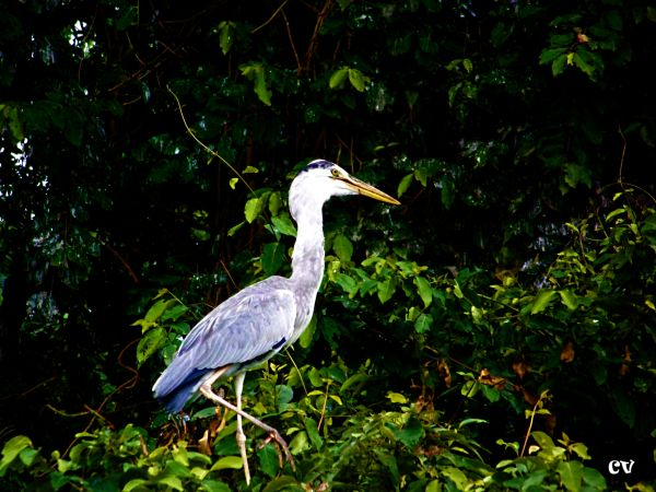 The birds of Ranganathittu - 2