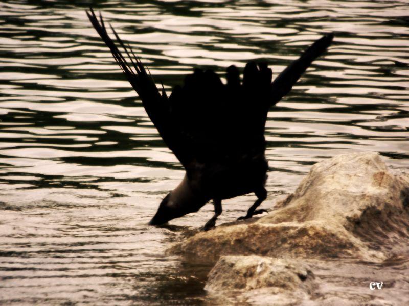 Bird Ranganathittu Wild Crow