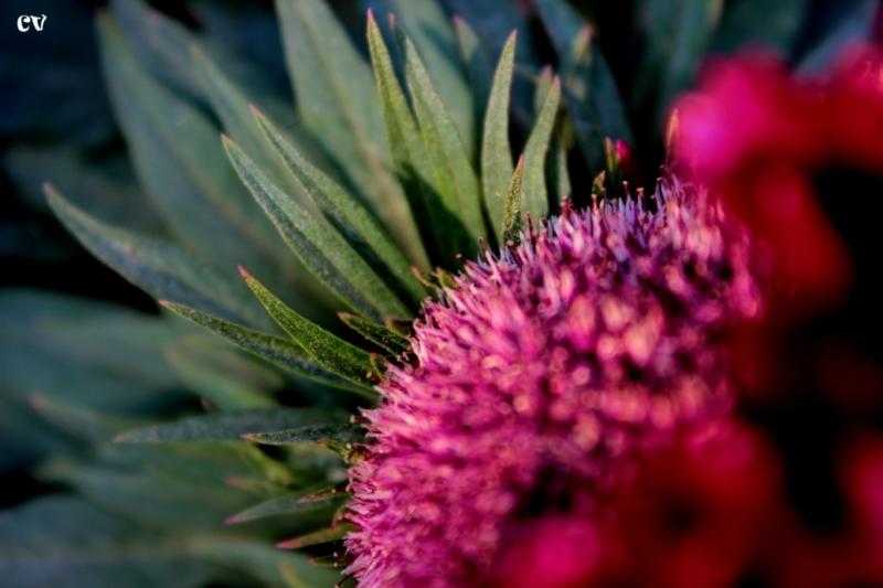 Velvet Flower - 1
