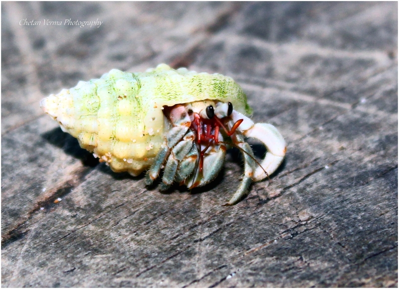A hermit crab on a wood plank in Neil islands