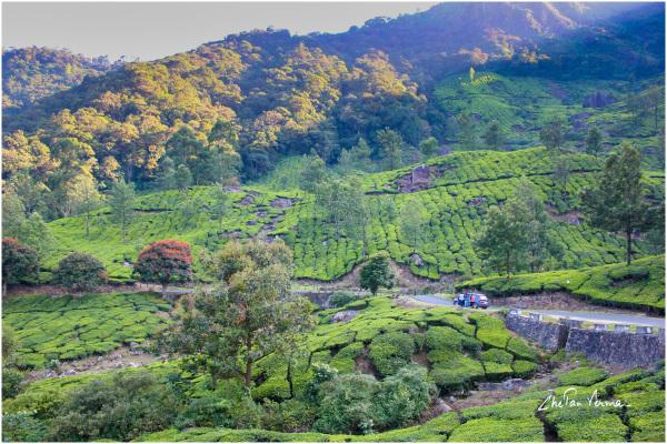 Tea Gardens, Munnar, India