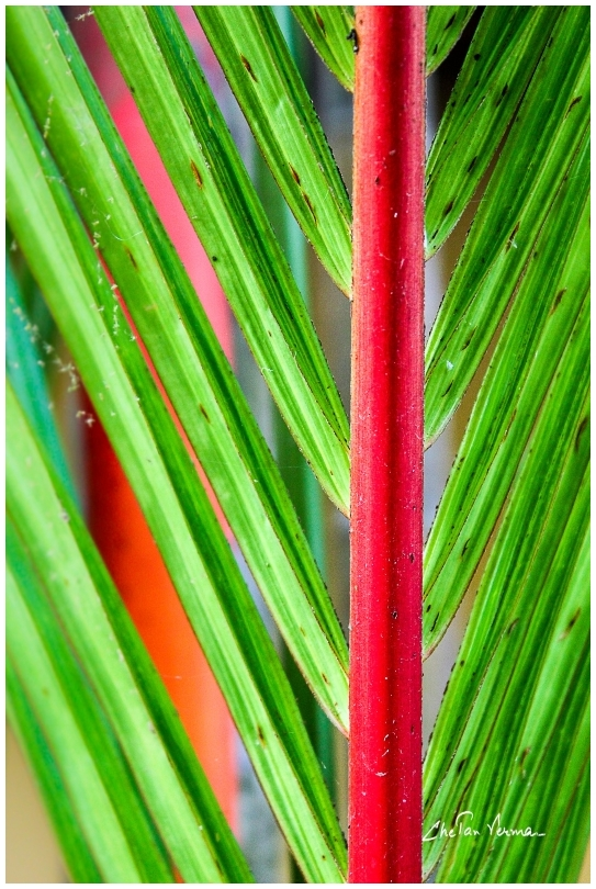 Lipstick Palm - Yes thats the correct name