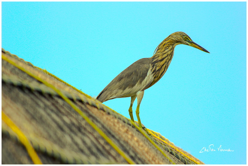A heron looks out