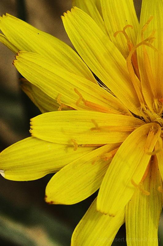 yellow wildflower Wyoming