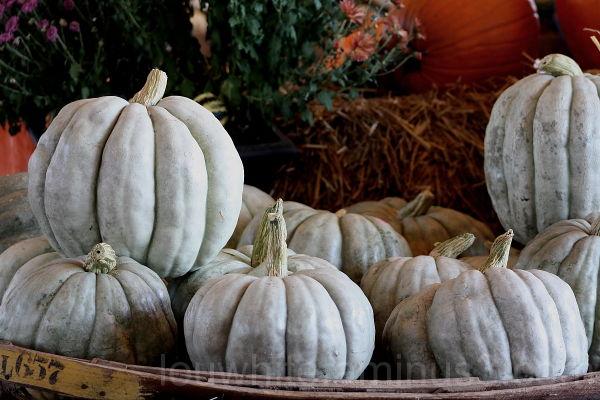 Grey Pumpkin