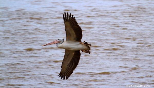 Spot Billed Pelican - Flight