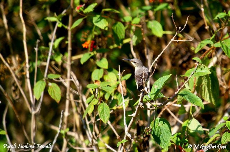 Purple Sunbird - Female