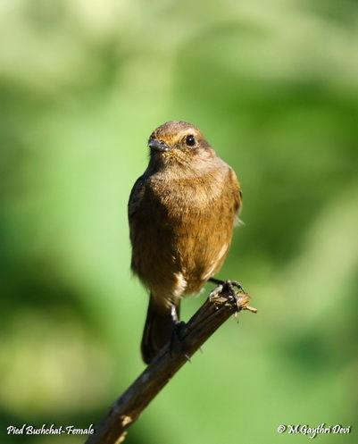 Pied Bushchat-Female