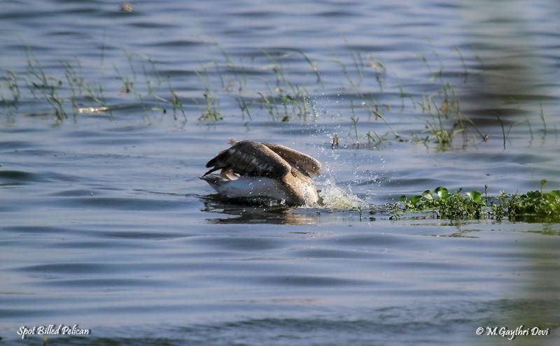 Spot Billed Pelican, Ukkadam, Coimbatore